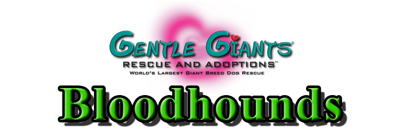 Bloodhounds at Gentle Giants Rescue and Adoptions